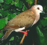 Caribbean doves can be observed at Hacienda Chichen Resort all year round