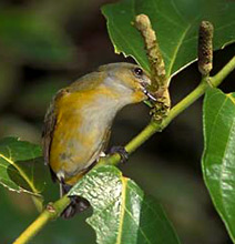 Enjoy observing the Yellow-throated Euphonia breeding at Hacienda Chichen, Chichen Itza, Yucatan, Mexico