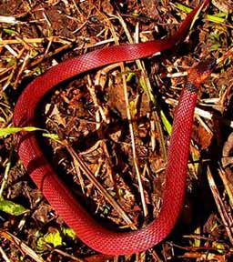 Red Coffee Snake, Ninia Sabae, is confused also with the Coral Snake by some Maya People