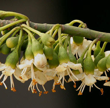 Ceiba Tree flowers are off white with loads of nectar.