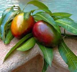Organic fresh mangos are enjoyed during summer parties at Hacienda Chichen in Yucatan