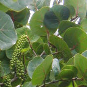 "Sea Grapes leafs are used by Maya people to wrap ""melcocha"" a honey and egg white creamy blend sometimes with nuts in it candy sold in villages.  The Sea Grape oil is used at Yaxkin Spa"