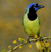 Green Jay or Ses Ib as the Maya called him, is one of the many beautiful birds in found in Yucatan