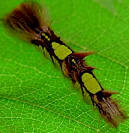 Morpho caterpillar has hairs that are highly irritant, it is best not to touch them