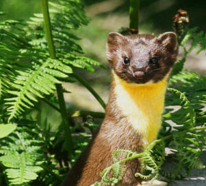 "Long-tail weasel are called in Maya ""Sabin""."