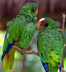 Endemic to the Yucatan Peninsula, the T'uut (Maya) is a parrot is a monogamous wild animal.