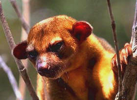 Caring for the environment, Kinkajous are among the charming animals of our Maya world.