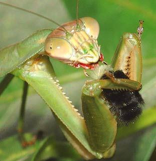 There are many praying Mantids in Yucatan, find more here