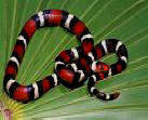 Scarlet King snake skin colors mimic the Coral snakes but remember: red next to black won't kill Jack!
