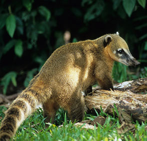 The white-nosed coati is a small mammal with a long furry ring tail found in Yucatan, Mexico.