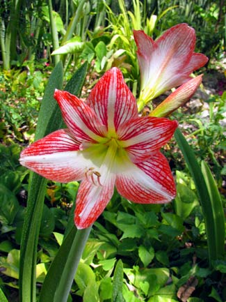 Hippeastrum 'Minerva' – Amaryllis – graces the path to Merle Greene's Maya Museum in Chichen Itza, Yucatan, Mexico