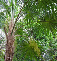 Sabal Palmetto has a beautiful ornamental fond overlapping pattern, ideal for ferm and orchids to grow.