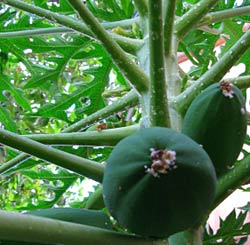 Maradol Papaya's are served at our Maya Children Nutrition Center