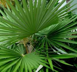 Mayan Guano Palm leafs are highly valued for palapa roofing