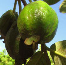 Guava fruits have great nutrition value that help the Maya children grow healthy.