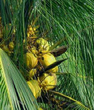 Coconut is an important ingredient in Maya Cusine since ancient times.