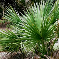 Chit or Dwarf Saw Palmetto is used by Mayans to build hut roofs and palapas