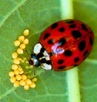 A Lady-Bug beetle is a joy to observe, but seeing her laying eggs in a true luck day