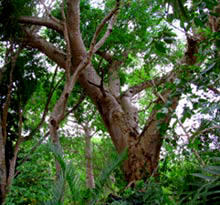 These huge lush trees house many species of Yucatan's wildlife